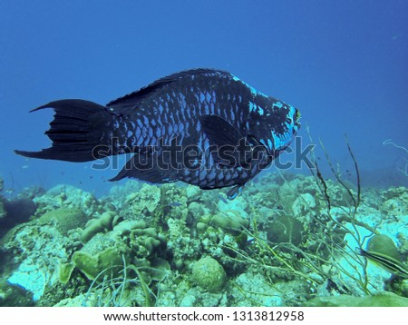 Midnight Parrotfish on a tropical reef system in the Caribbean #1313812958