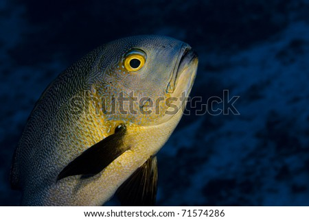 Midnight snapper (Macolor macularis) face, swimming over a coral reef. Taken in the Wakatobi, Indonesia.