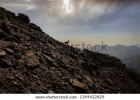 Mighty alpha male of Alpine Ibex run on sketchy ridge of western Italian Alps. #1349422829