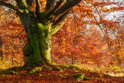 Mighty Beech Tree covered by moss with orange leaves in autumn