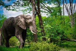Mighty Elephant taking a stroll in the bush