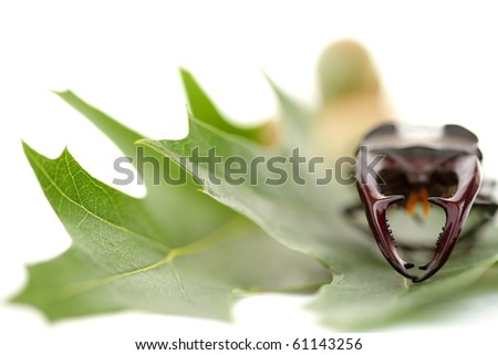 Mighty fighter stag beetle on green leaf