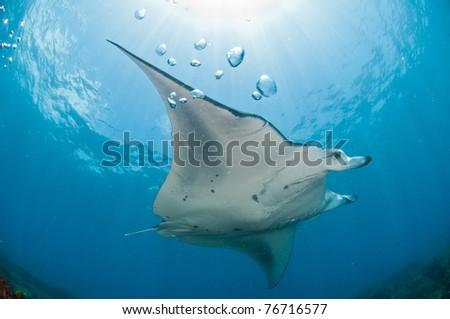 Mighty manta ray, Zavora, Mozambique