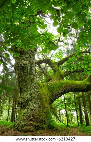 Место для проведения занятий стихии земли - Страница 30 Stock-photo-mighty-oak-in-the-wood-mazury-poland-6210427