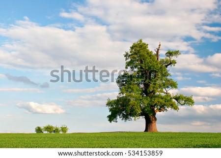 Mighty Oak Tree in Green Field, Spring Landscape under Blue Sky #534153859