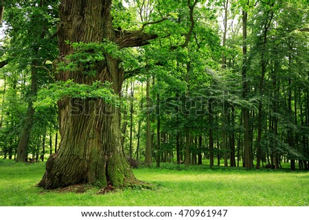 Mighty Old Oak Tree on Clearing in Green Forest #470961947