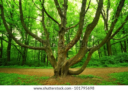 mighty tree with many branches in green spring forest
