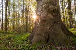 Mighty treetrunk in spring forest with sunstar, Schleswig-Holstein