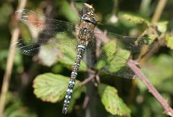 Migrant Hawker Dragonfly resting on a leaf