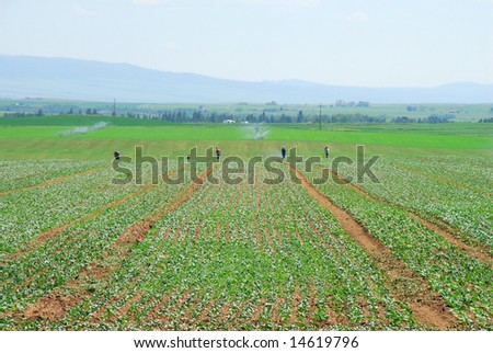 """Migrant workers weeding or """"winnowing"""" a field of canola in the Idaho high country during the middle of the day in the shimmering heat waves."""