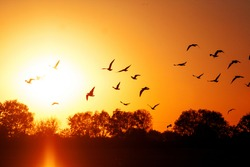 Migrating birds at sunset. Black outlines of birds and trees. Orange and red sun