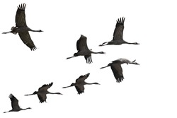 Migrating cranes fly ( flock, flight ). Free birds in the wild. Nature migration. Environment protection concept. Objects isolated on a white background. Copy space.