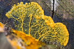 Migrating plasmodium of Badhamia utricularis slime mold on a tree trunk (Baarn, the Netherlands)