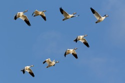 Migrating Snow Geese flying in formation over Middle Creek Wildlife Management Area in Lancaster County, Pennsylvania.