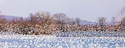 MIgrating snow geese on waterfront at Middle Creek Wildlife Management Area in central Pennsylvania at daybreak.