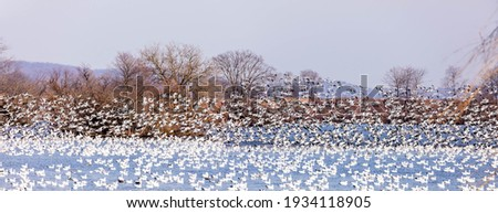 MIgrating snow geese on waterfront at Middle Creek Wildlife Management Area in central Pennsylvania at daybreak. Stock fotó ©
