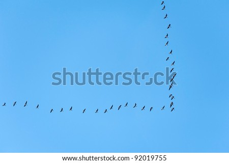 Migrating wild geese flying south at a V shape formation on clear blue sky - stock photo
