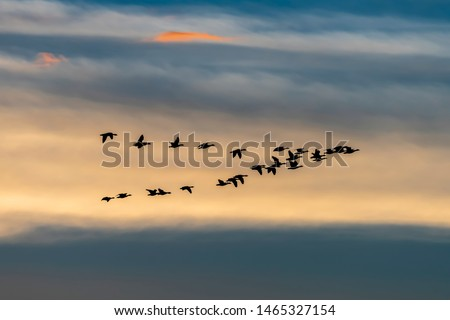 Photo of  Migrating wild geese formation in fall season - Exloo, Hondsrug, Drenthe, The Netherlands.