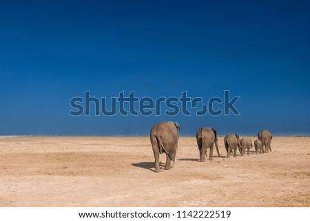 Migration of elephants. Africa. Kenya. The elephants go by the column. Journey through Africa. Family of elephants. Animals in Kenya. Desert. Elephants go through the desert.