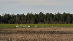 Migratory birds.  A flock of Whooper swan (Cygnus cygnus) walking and feeding in a farmer's field, spring 2020, Lithuania.