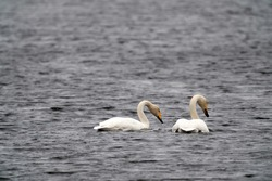 Migratory birds.  A pair of Whooper swan (Cygnus cygnus) swim and feeding in the lake, spring 2020, Lithuania.