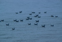 migratory birds at gangasagar