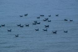 migratory birds at gangasagar