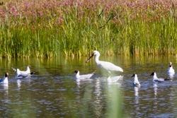 migratory birds in Baie de Somme