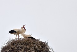 Migratory birds storks and their offspring in spring