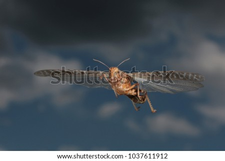 migratory locust flying background blue sky and a dark cloud