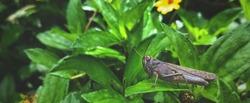 Migratory Locust, Locust, Locusta migratoria. Grasshopper (Locust) eating green plants isolated on nature background. Locust attack in india.