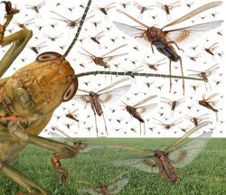Migratory locust swarm above the cereal green field. Locusta migratoria. Acrididae. Oedipodinae. Agriculture and pest control
