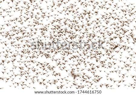 Photo of  Migratory locust swarm. Locusta migratoria. Acrididae. Oedipodinae. Agriculture and pest control. Isolated on a white background