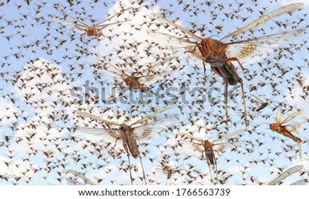 Photo of  Migratory locust swarm. Locusta migratoria. Acrididae. Oedipodinae. Agriculture and pest control