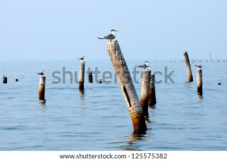 Migratory seagull on coconut stump at Bangtaboon, Petchaburi, Thailand