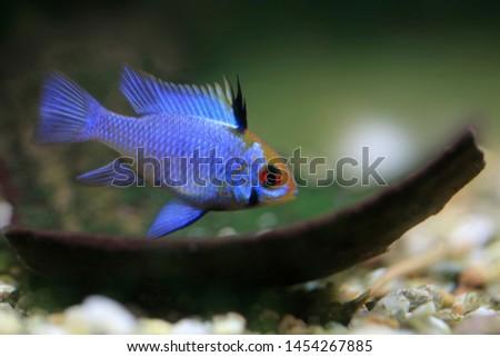 Mikrogeophagus ramirezi, blue punk, freshwater fish #1454267885
