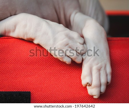 MILAN, ITALY - JUNE 7: Detail of Sphynx cat\'s hands at Beautiful cat at Quattrozampeinfiera, event and activities dedicated to dogs, cats and their owner on JUNE 7, 2014 in Milan.