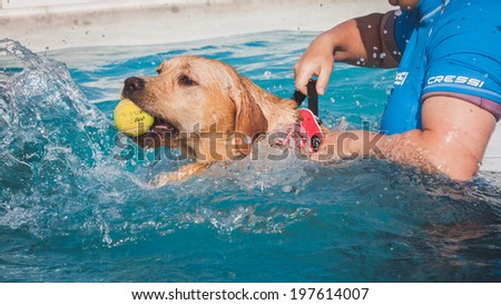 MILAN, ITALY - JUNE 7: Dog enjoys the swimming pool at Quattrozampeinfiera, event and activities dedicated to dogs, cats and their owner on JUNE 7, 2014 in Milan.