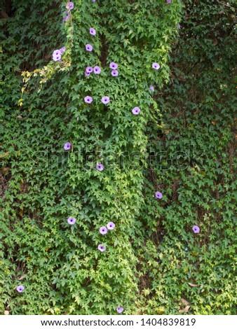 mile-a-minute vine, Messina creeper, Cairo morning glory, coast morning glory and railroad creeper.