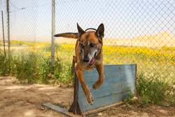 Military German shepherd dog in training skipping an obstacle in the IDF