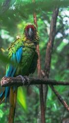 Military Maccaw in the Amazon Rainforest of Peru