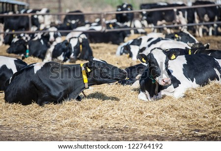 Milk cows lying on the ground having a rest on a farm