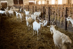 Milk goat pasturing on a rural pasture on a farm. Portrait of eating goat looking onto the camera