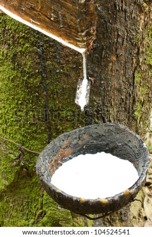 Milk of rubber tree