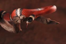 Milk snake and its tongue