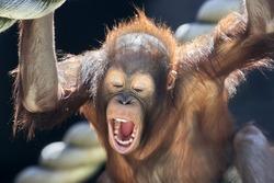 Milk teeth of a young orangutan.
