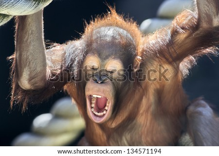 Milk teeth of a young orangutan