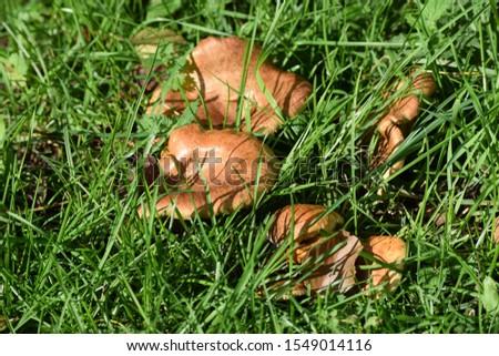 Milkcap on a wet Meadow #1549014116