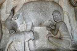 Milking of cow with its cattle by a man is depicted as the bas relief sculpture in Mahabalipuram, Tamilnadu. Indian rock art of ancient historical animal sculptures at rock cut temples in Tamil nadu.