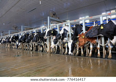 Milking parlor in dairy farm #776416417